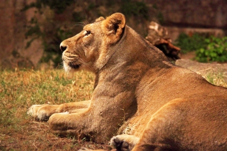 A lioness (Panther Leo) lying is resting, looking around photo