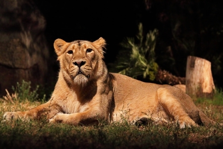 carnivorous: A lioness (Panther Leo) lying is resting, looking around Stock Photo