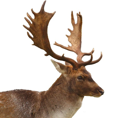 fallow deer: A buck (male fallow deer) isolated on white background Stock Photo