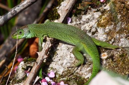 lacerta viridis: A huge european green lizard (Lacerta viridis) moving through the undergrowth