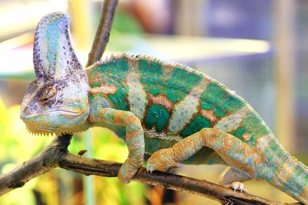 africa chameleon: A veiled chameleon (Chamaeleo calyptratus) walking on a branch Stock Photo
