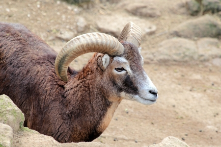 beetwen: A male goat of Montecristo Island (Capra aegagrus hircus) with typical long curved horns, beetwen the rocks Stock Photo