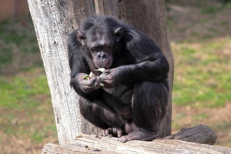 troglodytes: A chimpanzee  Pan Troglodytes  in a zoo, eating a vegetable