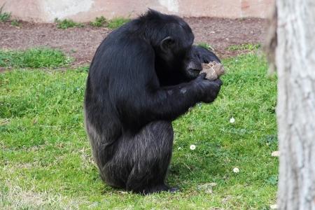 troglodytes: A chimpanzee  Pan Troglodytes  in a zoo, browsing in a package