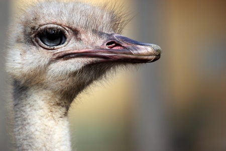 struthio camelus: Portrait of an ostrich  Struthio camelus