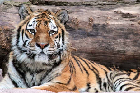 tigresa: Un tigre siberiano Panthera tigris altaica puesto con un camión como fondo