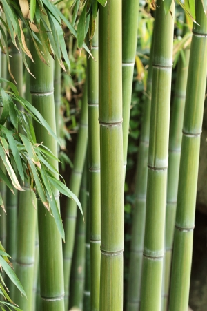 bamboo tree: An intricate forest of green canes of bamboo Stock Photo