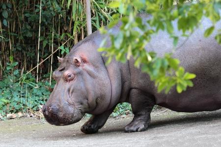 An heavy hippopotamus (Hippopotamus amphibius) walking in the vegetation Stock Photo