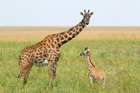 jirafa cute: Un joven jirafa y su madre Giraffa camelopardalis en el parque nacional Serengeti, Tanzania