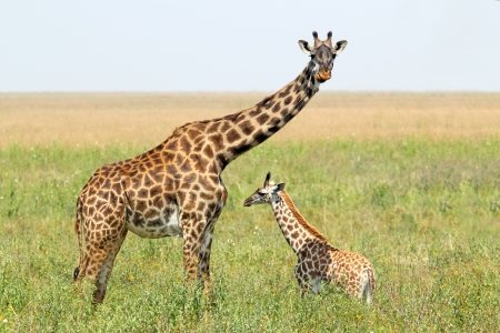reticulated giraffe: A young giraffe and his mother  Giraffa camelopardalis  in Serengeti National Park, Tanzania