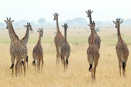A group of giraffes  Giraffa camelopardalis  in Serengeti National Park, Tanzania