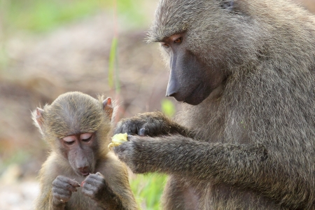 A baby olive baboon and his mother  Papio Anubis  in Gombe Stream Game Reserve, Tanzania