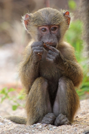 A baby olive baboon  Papio Anubis  sitting and eating in Gombe Stream Game Reserve, Tanzania Stock Photo