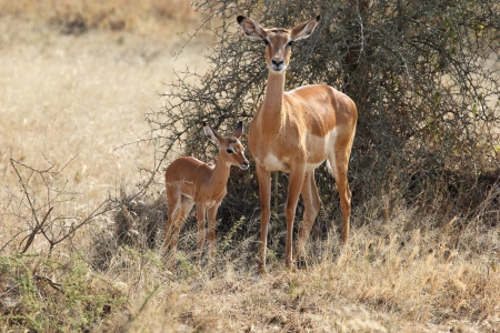 Baby impala with his mother  Aepyceros melampus  Stock Photo