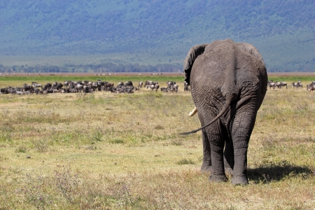 Huge african elephant (Loxodonta Africana) walking towards a herd of blue wilebeest (Connochaetes taurinus) in Ngorongoro Conservation Area, Tanzania Stock Photo