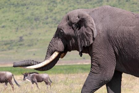 Huge african elephant (Loxodonta Africana) near two blue wilebeests (Connochaetes taurinus) in Ngorongoro Conservation Area, Tanzania Stock Photo