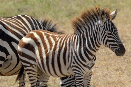 A baby zebra (Equus Quagga) in Ngorongoro Conservation Area, Tanzania