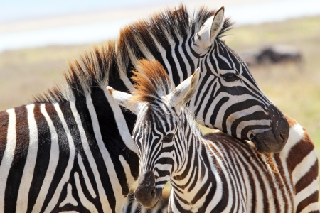 A baby zebra (Equus Quagga) and his mother in Ngorongoro Conservation Area, Tanzania