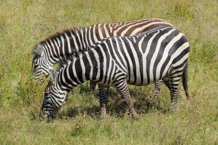 Two common zebras (Equus Quagga) grazing Stock Photo