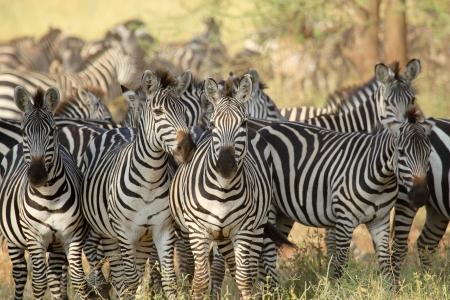 一般的なシマウマ (Equus クアッガ)、タンザニアのセレンゲティ国立公園の群れ