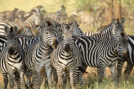 A herd of common zebras (Equus Quagga) in Serengeti National Park, Tanzania