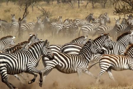 A herd of common zebras (Equus Quagga) gallopping in Serengeti National Park, Tanzania