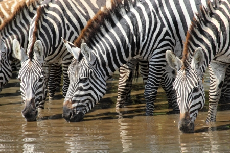 A group of common zebras (Equus Quagga) drinking from a waterhole Stock Photo