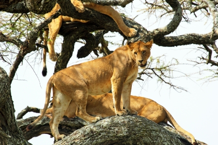 A group of lionesses (Panthera Leo) resting on a tree in Serengeti National Park, Tanzania Stock Photo