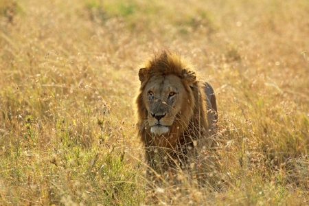 A male lion (Panthera Leo) in Serengeti National Park, Tanzania photo