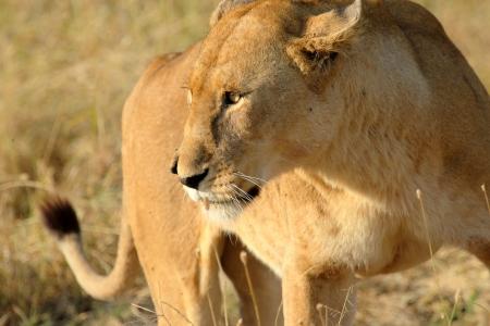 Portrait of a lioness (Panthera Leo)