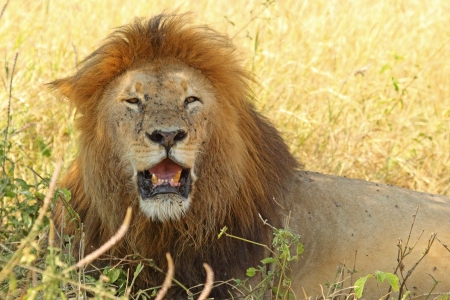 Un lion m�le (Panthera Leo) se reposant � l'ombre photo