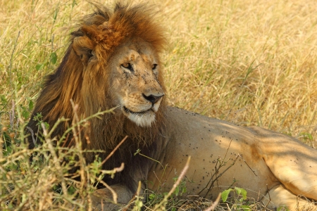 A male lion (Panthera Leo) lying in the shade
