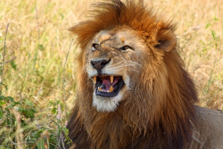 Un lion m�le (Panthera Leo) montrant ses dents photo