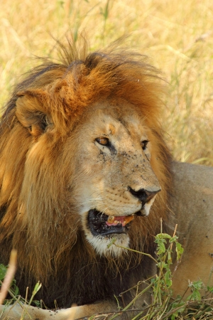 Portrait d'un lion m�le (Panthera Leo) de c�t� photo