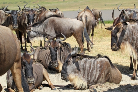 taurinus: Herd of a blue wildebeests (Connochaetes taurinus) resting in Ngorongoro Conservation Area, Tanzania