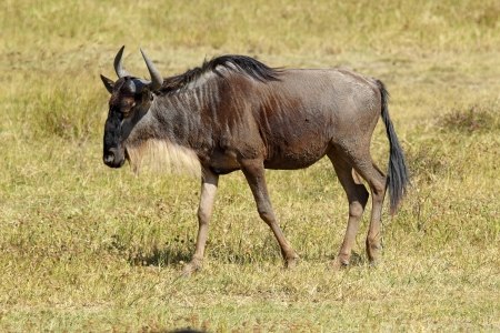 tanzania antelope: A blue wildebeest (Connochaetes taurinus) walking in Ngorongoro Conservation Area, Tanzania