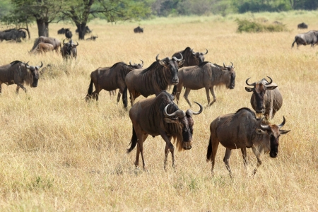 Group of blue wildebeests (Connochaetes taurinus) walking in Serengeti National Park, Tanzania photo