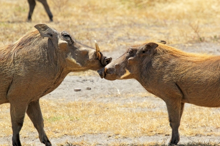 africa kiss: A couple of warthogs (Phacochoerus africanus) during the courtship in Ngorongoro Conservation Area, Tanzania