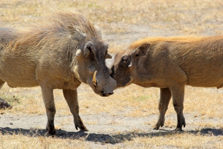 animal mating: A couple of warthogs (Phacochoerus africanus) during the courtship in Ngorongoro Conservation Area, Tanzania