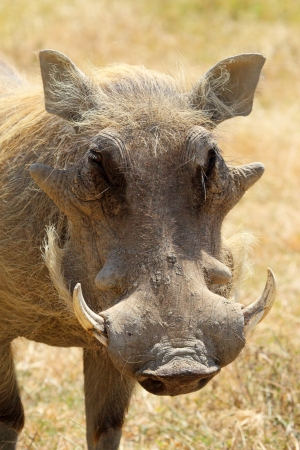 bush hog: Retrato de un jabal� (Phacochoerus africanus), vista frontal Foto de archivo