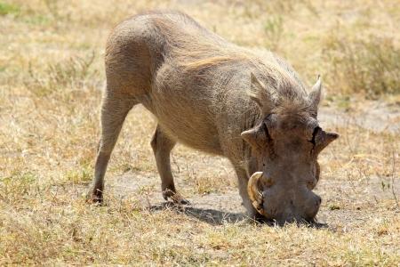 bush hog: El pastoreo de jabal� (Phacochoerus africanus) en el �rea de Conservaci�n de Ngorongoro, Tanzania