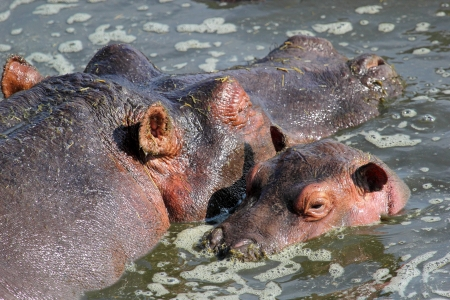 Baby hippo (Hippopotamus amphibius) and the mother in a pool in Serengeti National Park, Tanzania photo