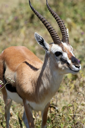 tanzania antelope: Closeup of a Thomsons gazelle (Eudorcas thomsonii) in Serengeti National Park, Tanzania Stock Photo