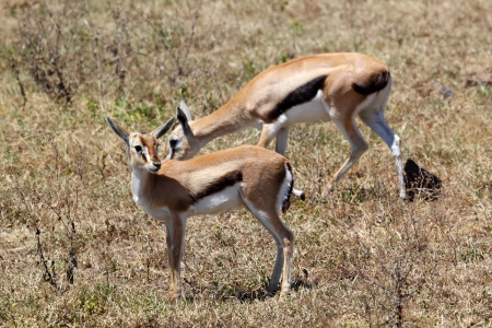 tanzania antelope: Couple of Thomsons gazelles (Eudorcas thomsonii) eating in Serengeti National Park, Tanzania Stock Photo