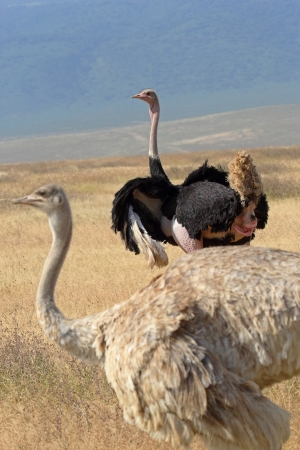 A couple of ostriches (Struthio camelus) looking around in Ngorongoro Conservation Area, Tanzania Stock Photo