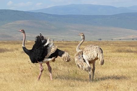 A couple of ostriches (Struthio camelus) breeding in Ngorongoro Conservation Area, Tanzania