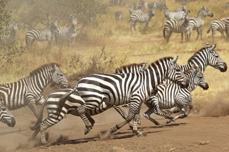 cebra: Una manada de cebras comunes (Equus Quagga) gallopping en el Parque Nacional del Serengeti, Tanzania Foto de archivo
