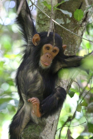 Young chimpanzee (Pan troglodytes) clinging to a tree in Gombe Stream National Park, Tanzania