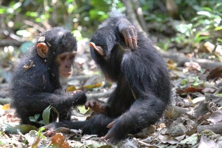 Twee baby chimpansees (Pan troglodytes) spelen op de grond in Gombe Stream National Park, Tanzania Stockfoto