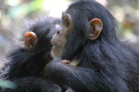 troglodytes: Closeup of a young chimpanzee (Pan troglodytes)